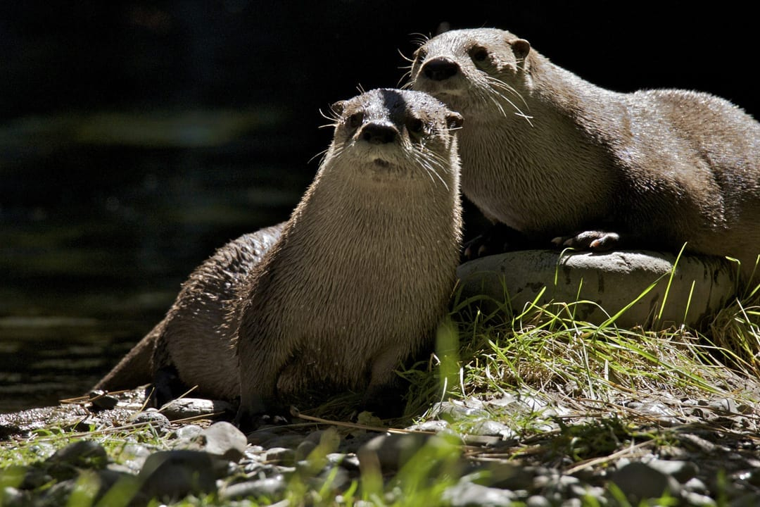 Otters at the High Desert Museum in Bend, Oregon
